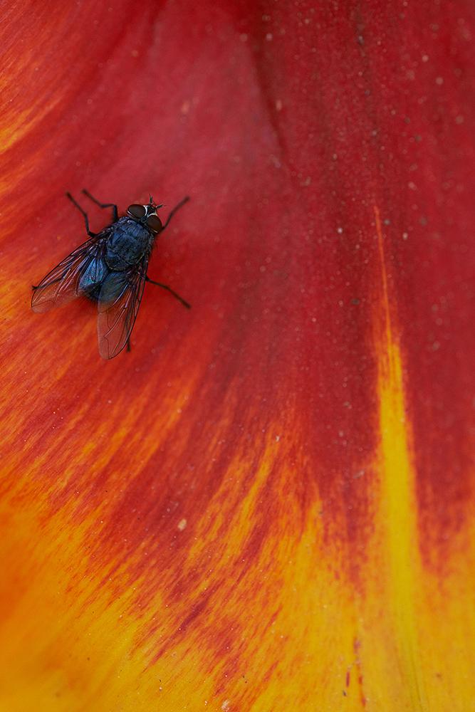 fly on tulip