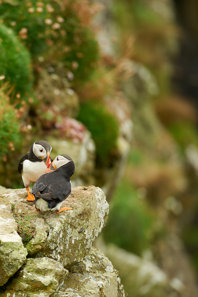 Atlantic puffin (Fratercula arctica) 2