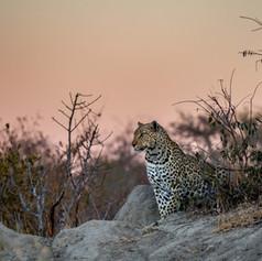 Leopard4, SamuelCox Digital Download.jpg