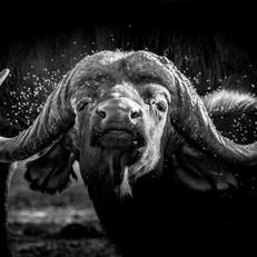 Buffalo Flies, SamuelCox Digital Downloa