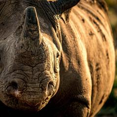 Black Rhino, SamuelCox Digital Download.