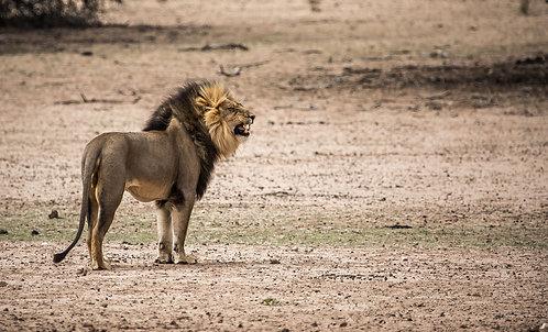 Lion, Black Mane