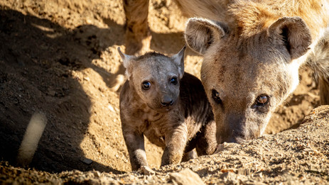 Hyena Birth - Moment Of Magic