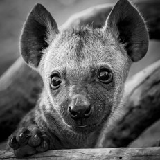 Hyena Cub, SamuelCox Digital Download.jp