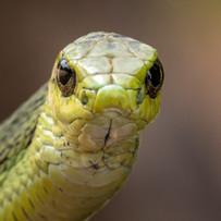 Boomslang. Kinyonga reptile centre, South Africa 2018