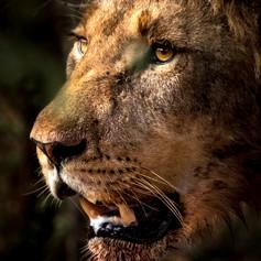 Lion Portrait, SamuelCox Digital Downloa