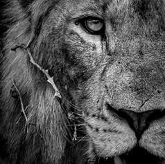 Lion Half Portrait, SamuelCox Digital Do