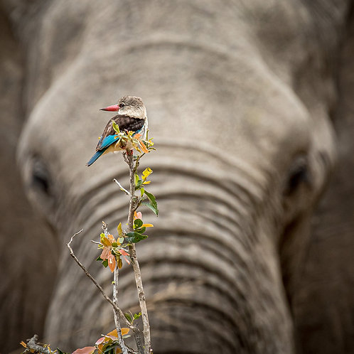 Brown Hooded Kingfisher & Elephant