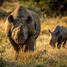 Black Rhino and calf, SamuelCox Digital