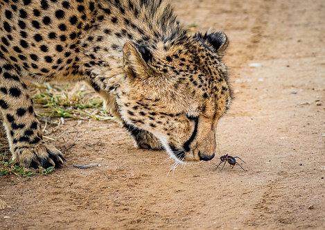 Cheetah (David And Goliath)