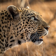 Leopard6, SamuelCox Digital Download.jpg