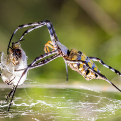Orb Spider, SamuelCox Digital Download.j