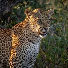 Leopard1, SamuelCox Digital Download.jpg