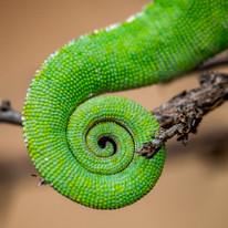 Chameleon tail. Kinyonga Reptile Centre, 2017