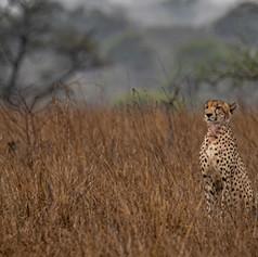 Cheetah, SamuelCox Digital Download.jpg