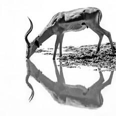 Impala Ram, SamuelCox Digital Download.j