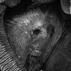 Elephant Eye3, SamuelCox Digital Downloa