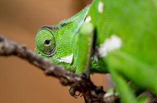 Chameleon, SamuelCox Digital Download.jpg
