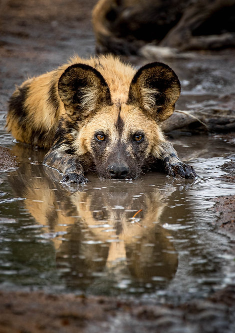 Painted Wolf, Mud Bath