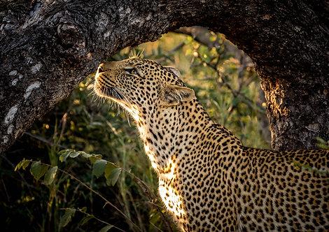 Leopard Sniff