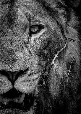 Lion%20Half%20Portrait%2C%20SamuelCox%20