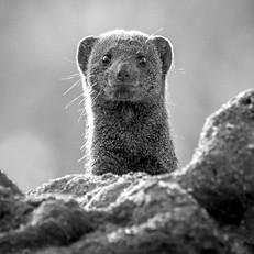 Dwarf Mongoose, SamuelCox Digital Downlo