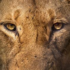 Lion Eyes, SamuelCox Digital Download.jp