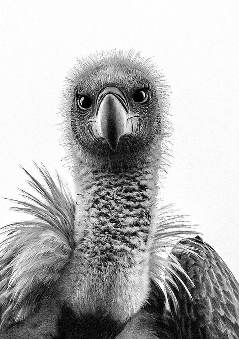 Vulture, White Backed