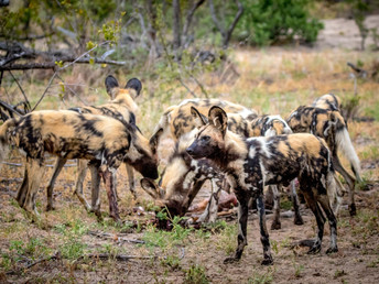 Breakfast With Wild Dogs