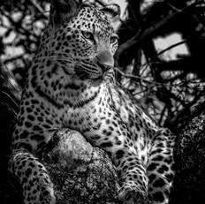 Leopard8, SamuelCox Digital Download.jpg