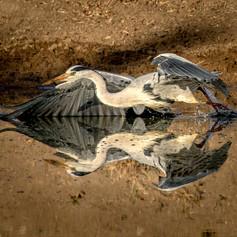Grey Heron, SamuelCox Digital Download.j