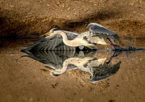 Grey Heron, SamuelCox Digital Download.jpg