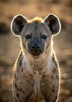 Spotted Hyena1, SamuelCox Digital Download.jpg