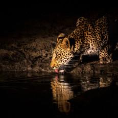 Leopard7, SamuelCox Digital Download.jpg