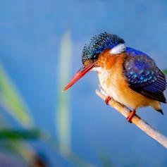 Malachite Kingfisher, SamuelCox Digital