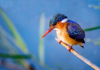 Malachite Kingfisher, SamuelCox Digital Download.jpg