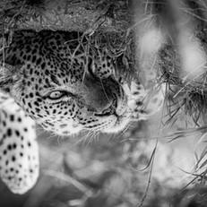 Leopard3, SamuelCox Digital Download.jpg