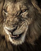 Lion Snarl2, SamuelCox Digital Download.jpg
