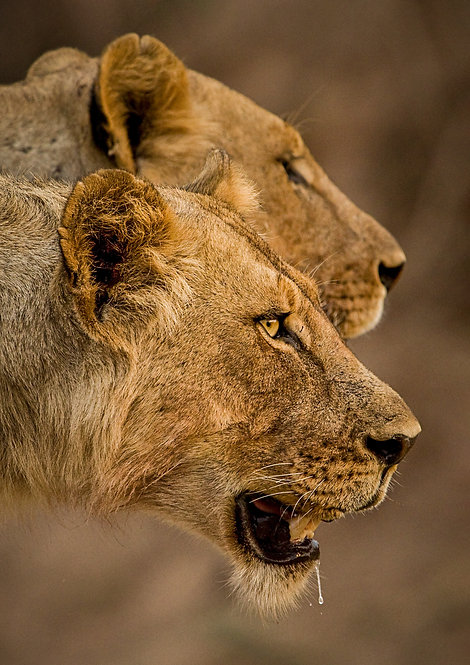 Dual Lioness
