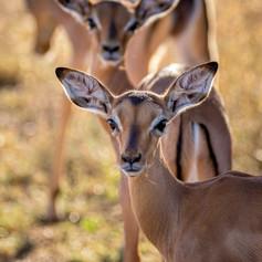 Impala Babies2, SamuelCox Digital Downlo