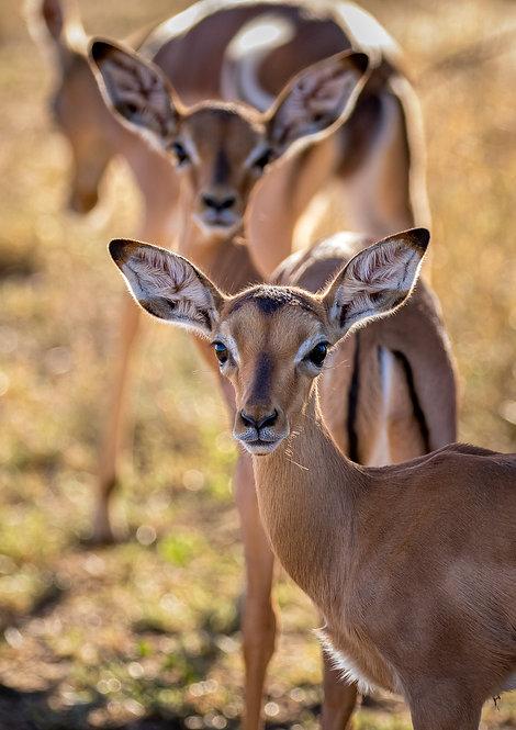 Impala Babies