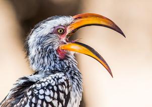 Southern Yellow Billed Hornbill2, SamuelCox Digital Download.jpg