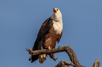African Fish Eagle. Kruger, South Africa 2018