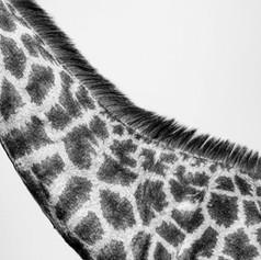 Giraffe Pattern, SamuelCox Digital Downl