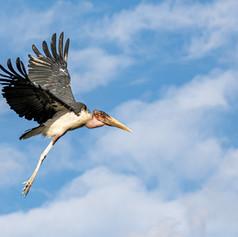Marabou Stork, SamuelCox Digital Downloa