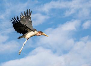 Marabou Stork, SamuelCox Digital Download.jpg
