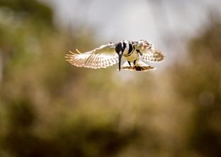 Pied Kingfisher, SamuelCox Digital Download.jpg