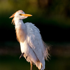 Cattle Egret, SamuelCox Digital Download