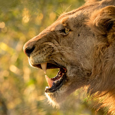 Lion Snarl1, SamuelCox Digital Download.