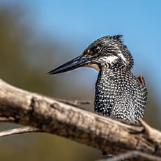 Giant Kingfisher, SamuelCox Digital Down